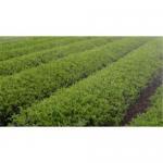 Cheap Tea extract  and Tea powder wholesale