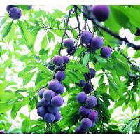 Cheap Dietary Supplement Ingredient 25% Blueberry Extract Anthocyanidins 100% Natural wholesale