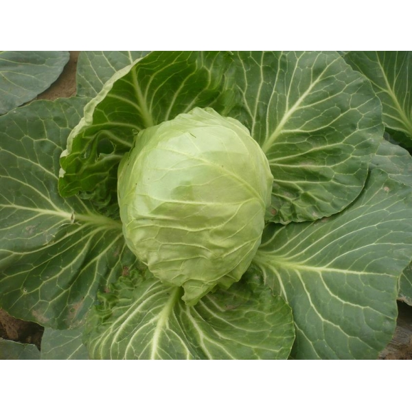 cabbage of btdong86418