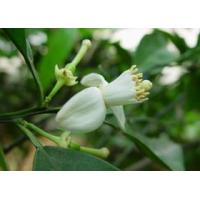 China Citrus Annua L. Line Synephrine on sale