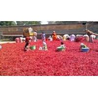 Cheap Credence Whole Chilli Style Dried byadgi red chilli in bulk wholesale